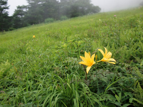 霧降高原のキスゲ平