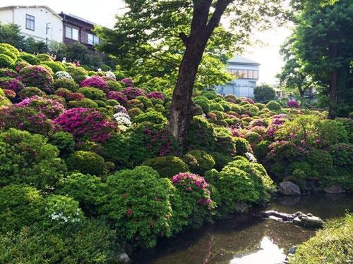 つつじが咲き競う根津神社