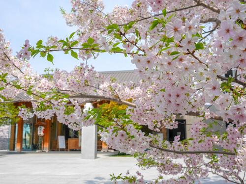 神楽坂でお花見 2018