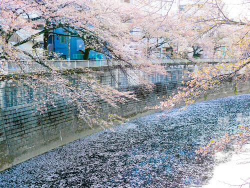 神田川でお花見 2018