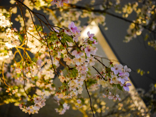 神楽坂でお花見