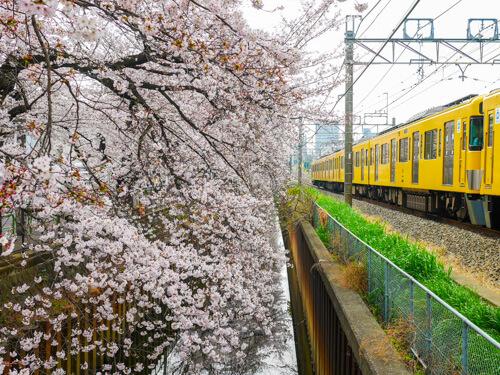 武蔵関公園で花見